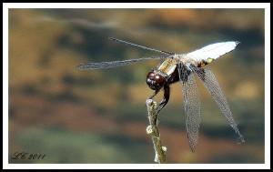 Belle demoiselle... dans insectes DSC012701-300x189