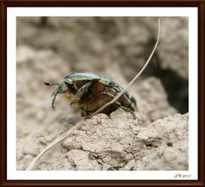 A l'attaque! dans insectes IMG_7745-300x273